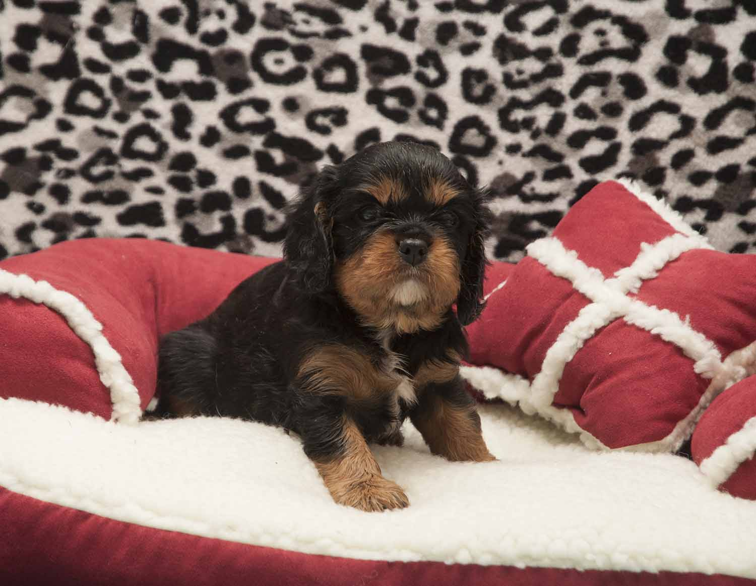Available Cavalier Puppies |